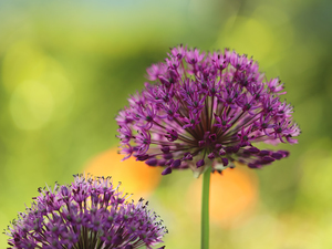 Allium, Flowers, Green Background, purple