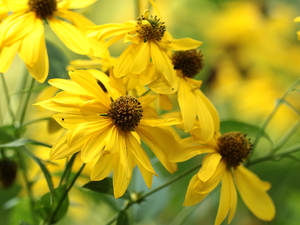 Yellow, Green-headed Coneflower, Flowers