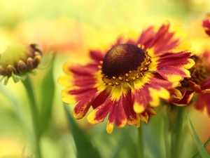 Colourfull Flowers, Helenium Hybridum, Red