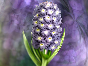 hyacinth, graphics, Colourfull Flowers