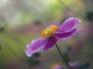 Colourfull Flowers, Japanese anemone, lilac