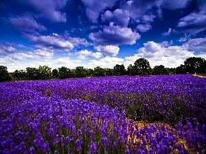 clouds, Flowers Narrow-leaved Lavender
