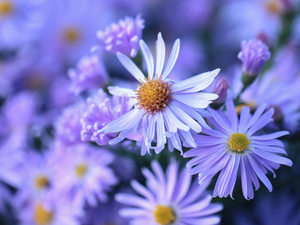 Aster, Flowers, Light Purple, Beetle