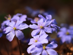 Flowers, lilac, Liverworts
