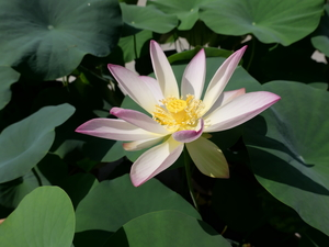 Colourfull Flowers, lotus, Leaf, bloom