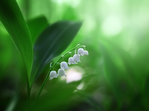 White, lily of the Valley, Leaf, Colourfull Flowers