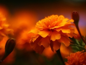 Flowers, Tagetes, Orange