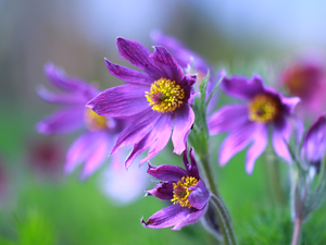 Flowers, purple, pasque