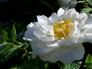 peony, White, Colourfull Flowers