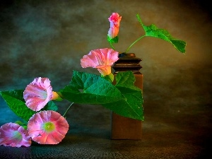 Flowers, bindweed, Pink