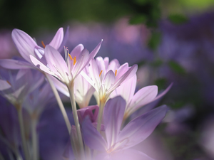 Flowers, colchicums, Pink