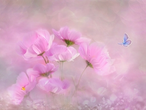 butterfly, Dusky Icarus, Flowers, Cosmos, Pink