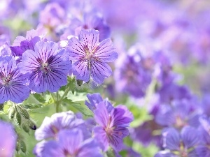 Flowers, geranium, purple