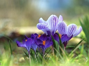 purple, Spring, Flowers, crocuses