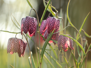 rapprochement, Fritillaria meleagris, Flowers