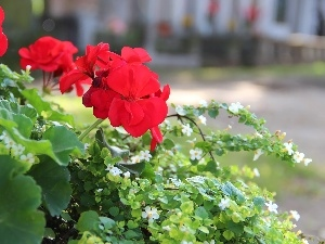 Red, White, flowers, geraniums