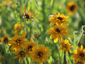 Flowers, Yellow, Rudbekie