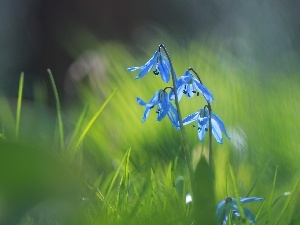 Siberian squill, Blue, Flowers