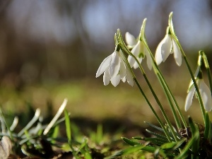 Flowers, snowdrops, White