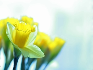 Flowers, Daffodils, Yellow