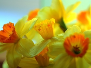 Flowers, narcissus, Yellow