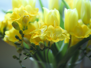 Yellow, Freesias, rapprochement, Flowers