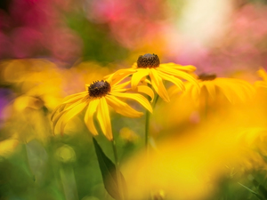 Yellow, Rudbekie, rapprochement, Flowers