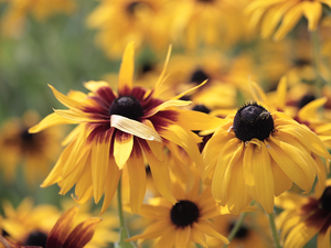 Flowers, Rudbekie, Yellow