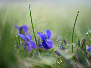 grass, drops, Flowers, fragrant violets, Blue