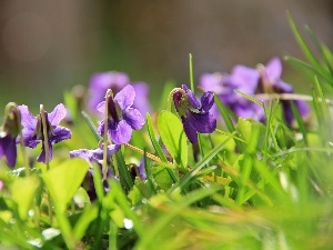 fragrant violets, grass
