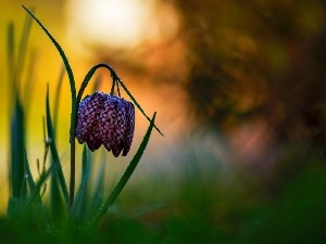 Colourfull Flowers, Fritillaria meleagris