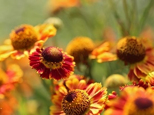 Flowers, Yellow, Helenium, Red