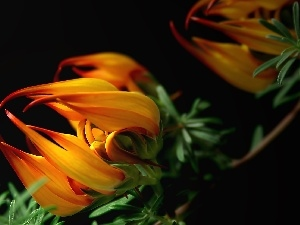 Close, Colourfull Flowers, Gazania
