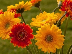 gerberas, Yellow, Red