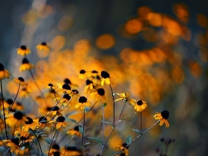 Yellow, Rudbeckia, glamour, Flowers