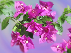 graphics, Flowers, Bougainvillea