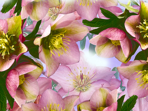 graphics, Flowers, Helleborus