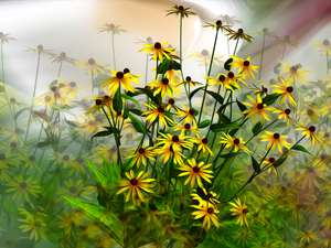 graphics, Flowers, Rudbeckia