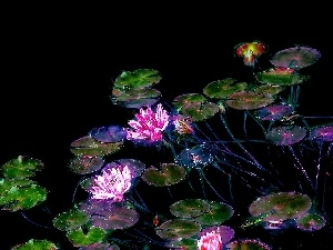 graphics, lilies, water