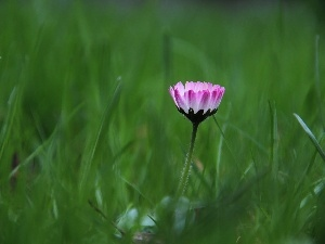 daisy, flakes, grass, Pink