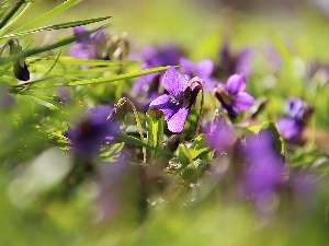 Spring, fragrant violets, grass