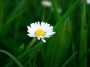 White, Green, grass, daisy