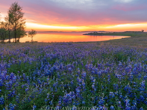 viewes, lake, lupine, Great Sunsets, Meadow, trees