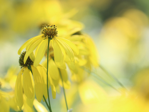 Flowers, Green-headed Coneflower, Yellow
