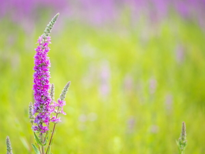 Pink, Lythrum Salicaria, Green Background, Colourfull Flowers