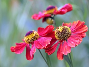 blurry background, Flowers, Helenium