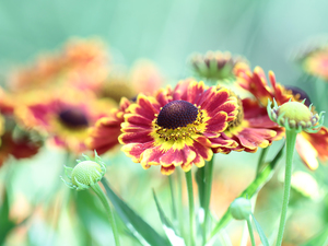 Red, Helenium Hybridum, Colourfull Flowers