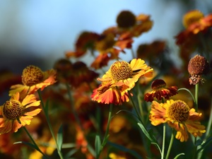 Helenium, Flowers, Orange
