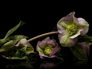 black background, Flowers, Helleborus