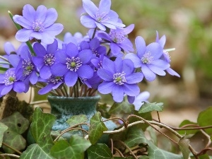 ivy, small bunch, hepatica